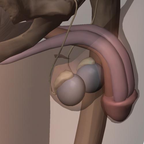 Aparato reproductor masculino - Pene