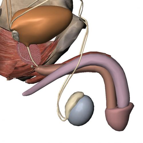 Próstata y uretra